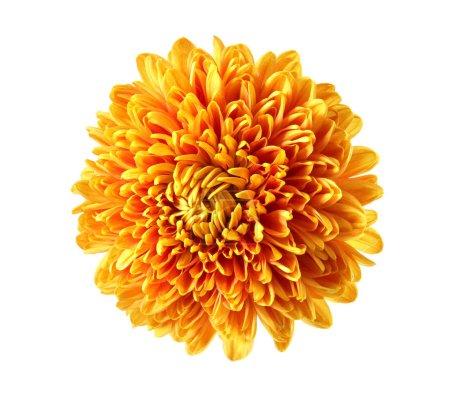 Beautiful orange chrysanthemum