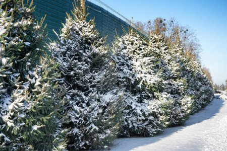 Beautiful fir trees covered with snow