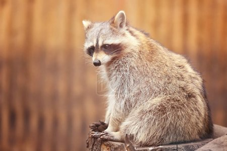 Cute funny raccoon
