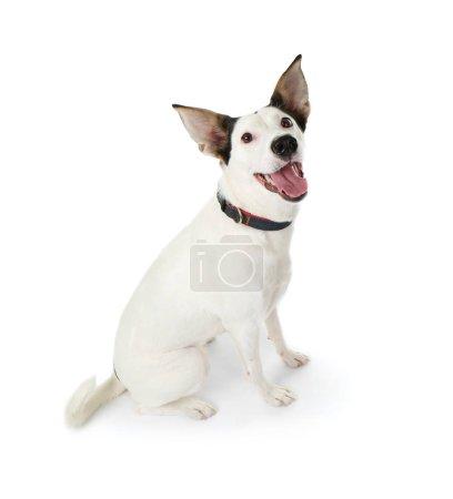 Funny Andalusian ratonero dog
