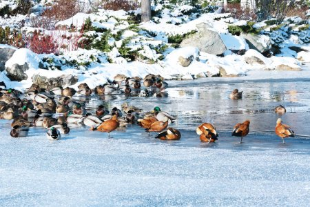 Lake with ducks in winter park