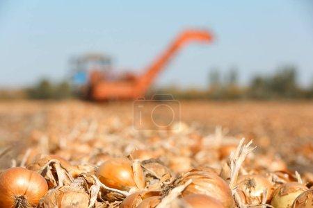 Photo pour Champ avec oignons pour la récolte pendant la journée ensoleillée - image libre de droit