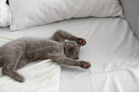 British kitten on bed