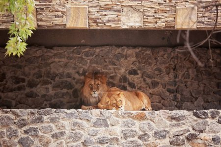 Lion and lioness resting in zoological garden