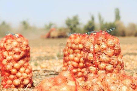 Photo pour Champ avec oignons dans des sacs en filet pour la récolte - image libre de droit