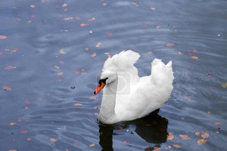 Beautiful swan in pond