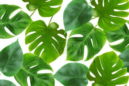 Photo pour Feuilles vertes fraîches sur fond blanc - image libre de droit