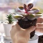 Florist replanting succulent, closeup...