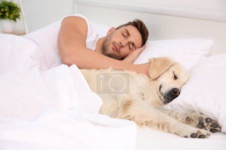 Labrador dog sleeping with owner