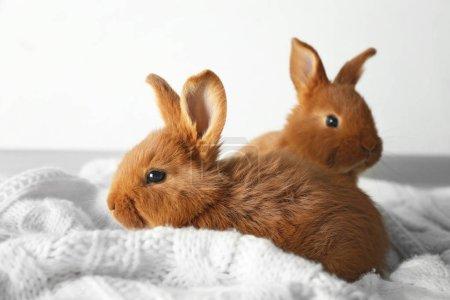 Two cute fluffy bunnies