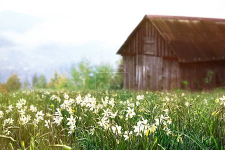 Photo for Beautiful spring flowers near countryside house - Royalty Free Image