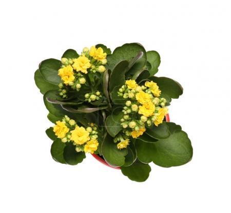 Beautiful kalanchoe plant