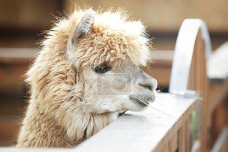 Cute funny alpaca
