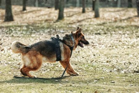 Photo for Training of working dog outdoors - Royalty Free Image