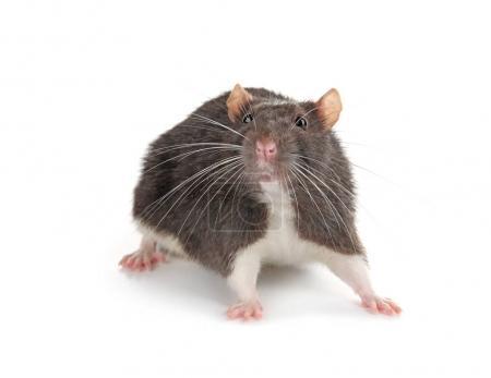 Cute funny rat