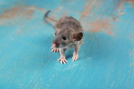 Cute funny rat