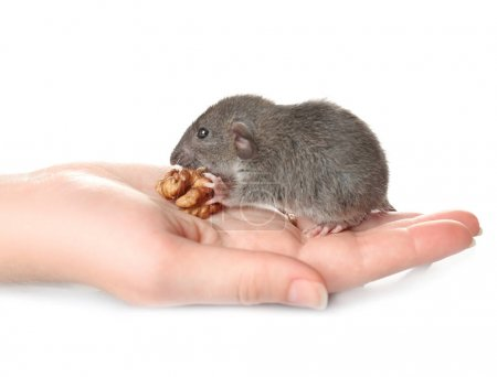 rat eating nut while sitting on  hand