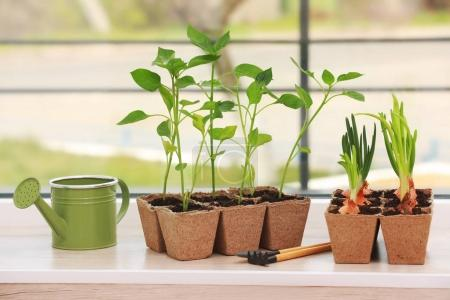 Seedling of plants in pots
