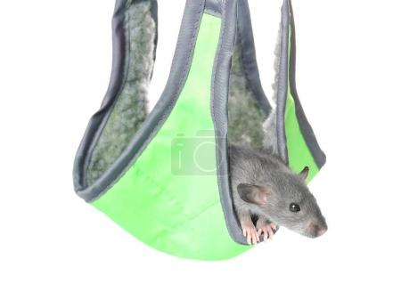 Cute funny rat in hammock
