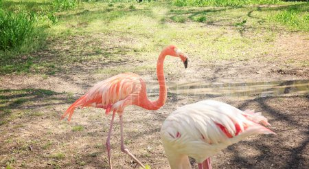 Beautiful flamingos in zoological garden