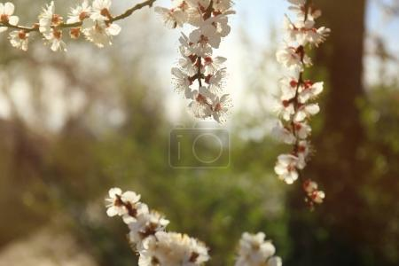 Branches of apricot tree flowers