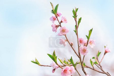 Blossoming spring branches