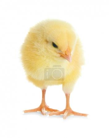 Cute funny chicken