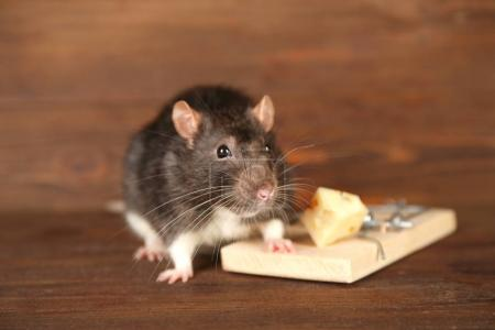 Cute rat and mousetrap