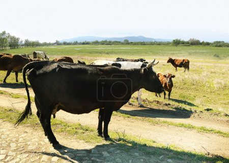 Herd of cattle grazing on lawn