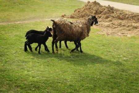 Cute funny lambs and sheep