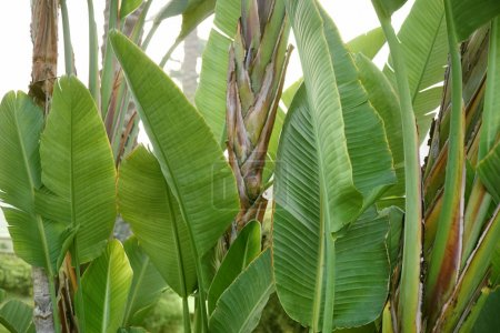 Big leaves of tropical banana palm in garden