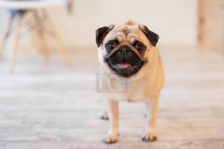 Cute pug dog on floor at home