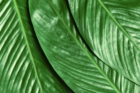 Big leaves of tropical banana palm as background
