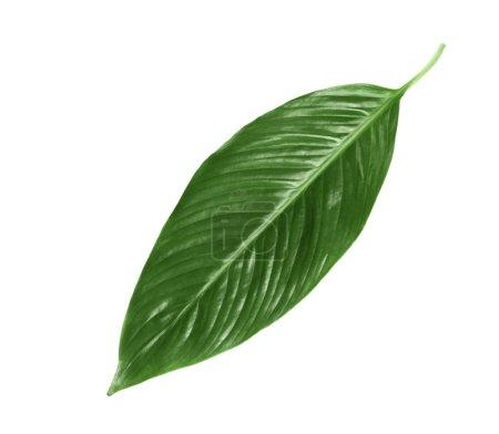 Photo pour Grande feuille de bananier tropical sur fond blanc - image libre de droit