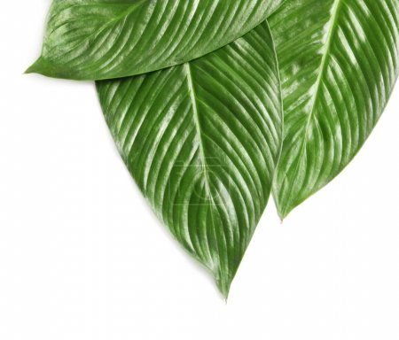 Big leaves of tropical banana palm on white background