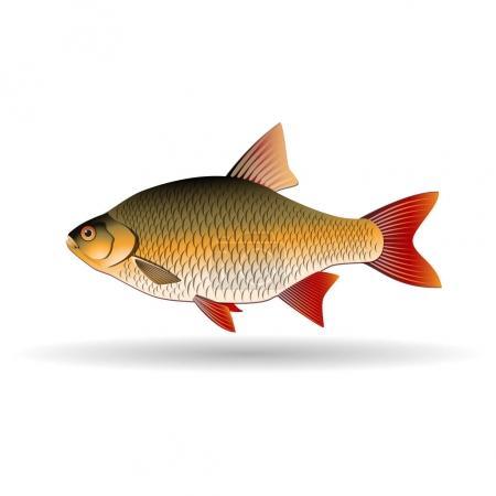 Rudd. Freshwater fish of carp family. Realistic il...