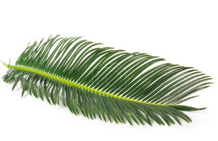 Photo pour Feuille de palmier pour votre conception. Isolé sur fond blanc - image libre de droit