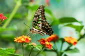 Daily tropical butterfly Graphium Agamemnon (lat. Graphium Agamemnon) on a bright flower, Lantana (lat. Lantana)