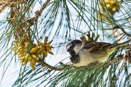 House Sparrow (lat. Passer domesticus) sitting on a branch of pine (lat. Pinus)