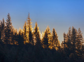 trees in forest with sun in the back. sunset or sunrise background