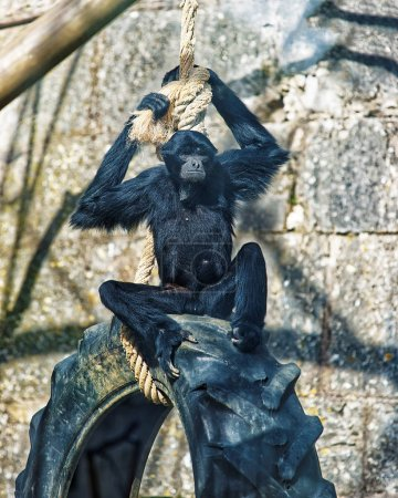 Black headed spider monkey in Zoo of Besancon