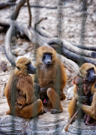 Guinea Baboons family in Zoo in citadel in Besancon