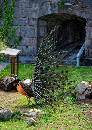 Peacock in Zoo at citadel in Besancon