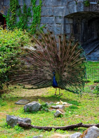 Peacock in Zoo at citadel of Besancon