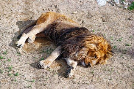 Sleeping Lion in Zoo in citadel in Besancon