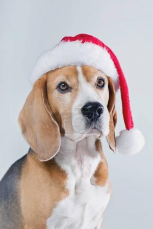 Beagle dog in Santa hat