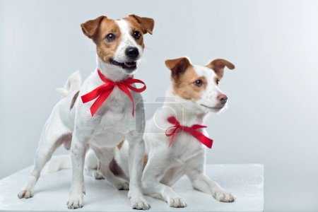 Jack Russell terriers on white