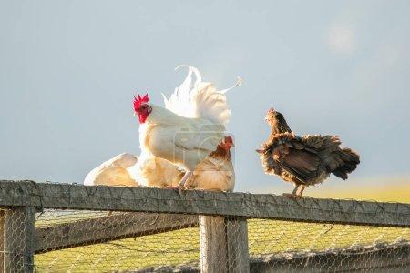 Foto de Imagen de cerca de un pollo en una granja - Imagen libre de derechos