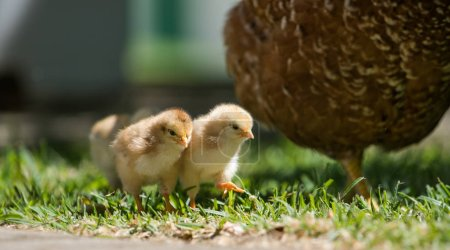 Baby chicks walking with their mother