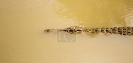 Close up of a African Nile Crocodile